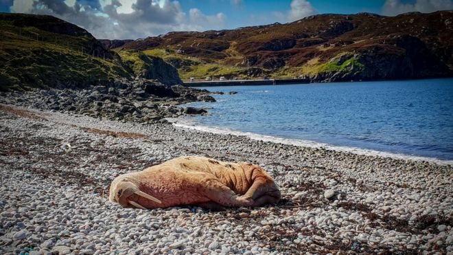 arctic walrus spotted in scotland looks healthy bbc news