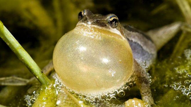 Многие животные (например, самцы лягушек) понижают голос, чтобы подчеркнуть свое доминирование