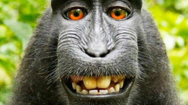 Hasil gambar untuk sengketa selfie monyet di hutan indonesia