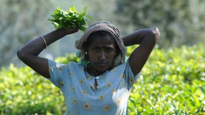 Sri Lankan tea picker works on a plantation