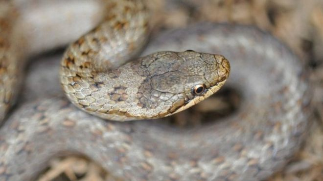 Smooth snakes: Bid to save the UK's rarest reptile with