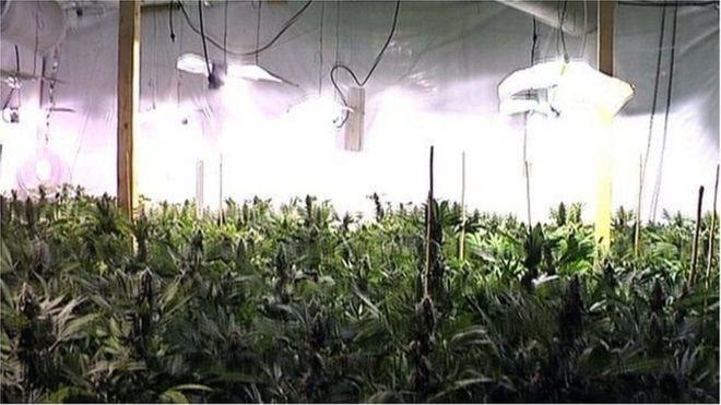 Một trang trại trồng cần sa trong nhà