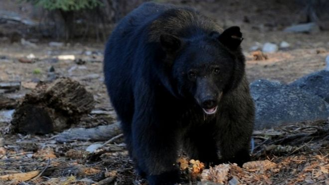 A black bear broke into a house in the US