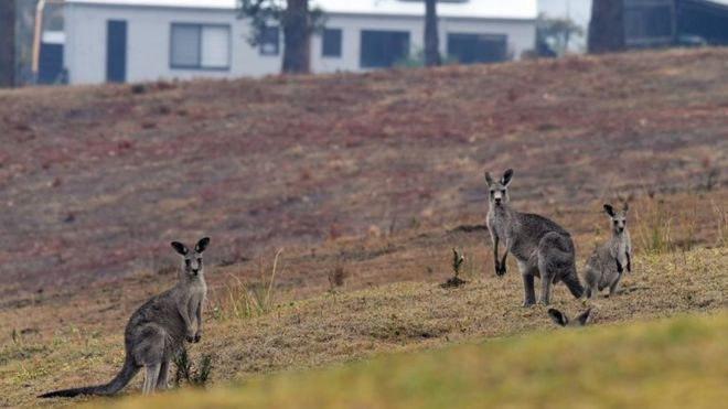 Three kangaroos stand near houses in Merimbula, New South Wales, on Monday