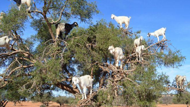 Por qué los árboles de argán en Marruecos tienen cabras sobre sus ...