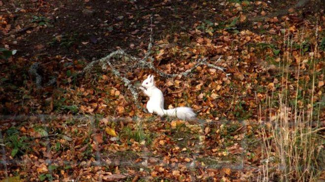 _109489599_whiteredsquirrel.jpg