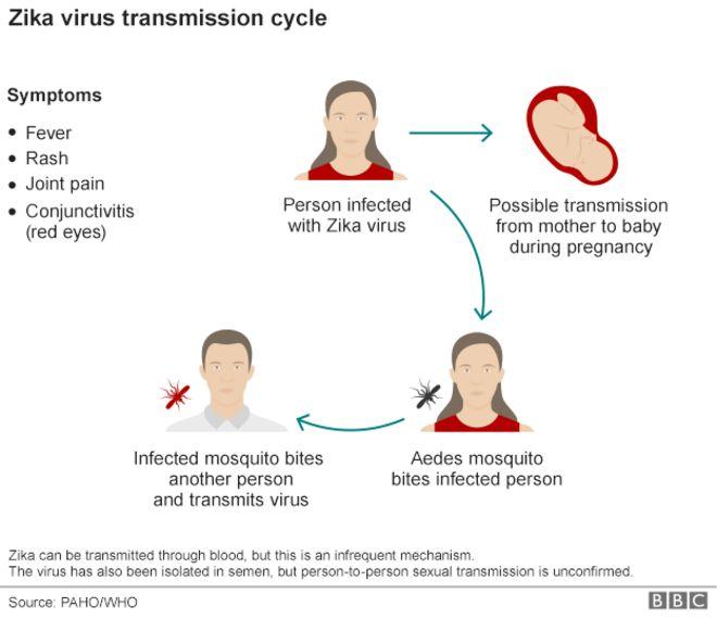 Цикл вируса Зика
