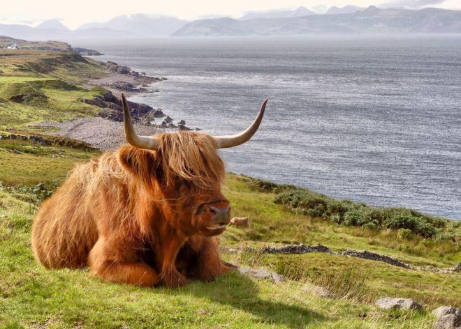 بقرة اسكتلندية