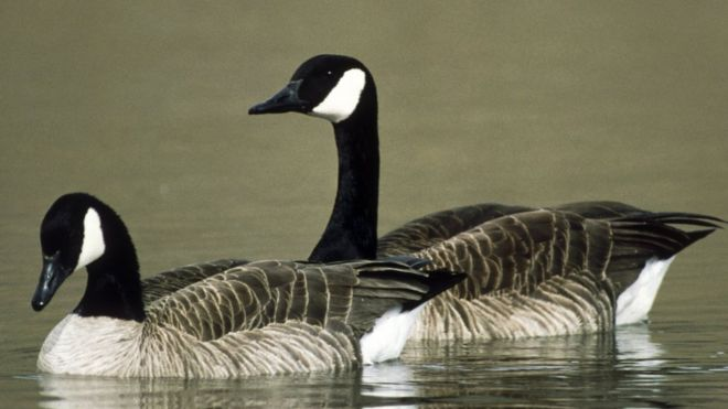 Denver culls Canada geese to feed 'needy families' - BBC News