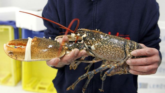 Lobsters and crabs should not be boiled alive, say