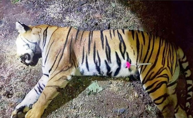 india s tiger killings a success story gone wrong bbc news
