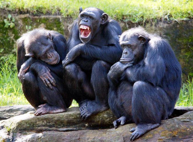 chimps strength secrets explained bbc news
