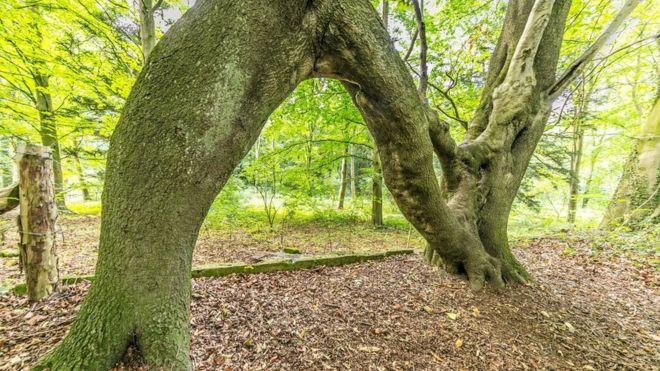 Dating en sycamore tree