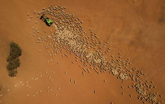 مزارع يغذي خرافه