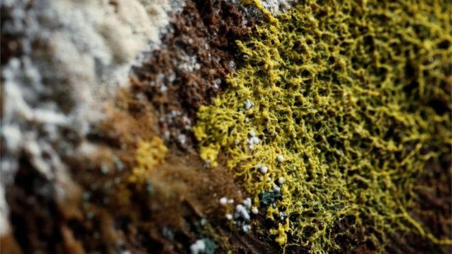 Foto do Physarum polycephalum — ou 'blob'