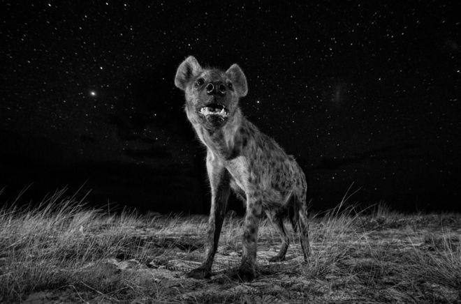 Hyena at night