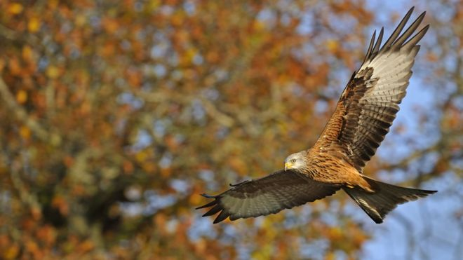 There are now about 10,000 red kites in the UK
