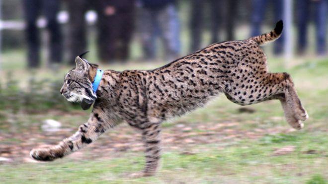 the return of the lynx bbc news