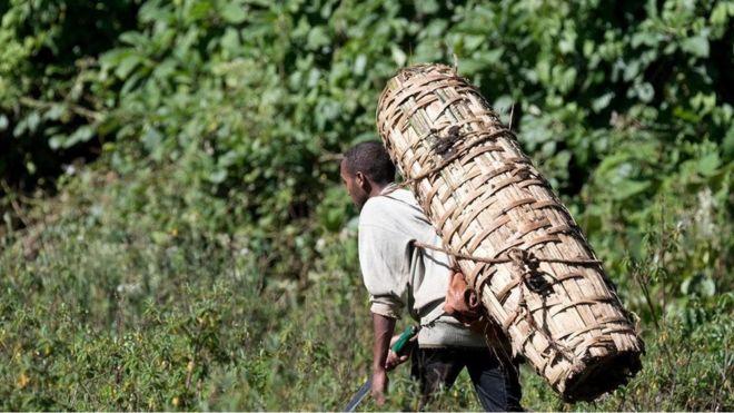 埃塞俄比亚(Ethiopia)哈莱纳森林(Harenna Forest)养蜂人的蜂箱