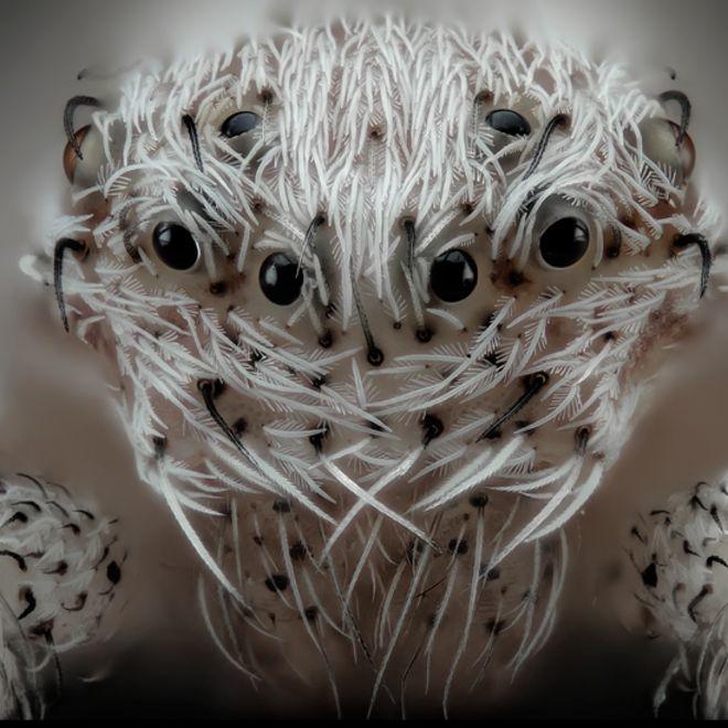 Araña con seis ojos