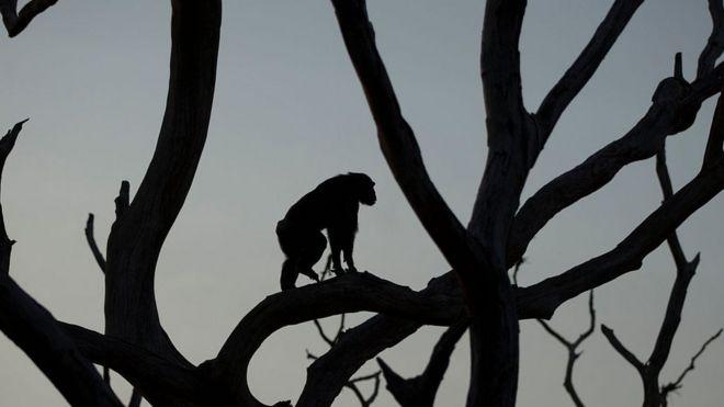 Silhueta de um chimpanzé