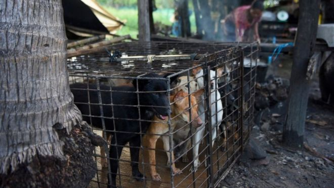 Dogs are kept in a cage as a woman boils water at a slaughterhouse in Siem Reap province (file photo)