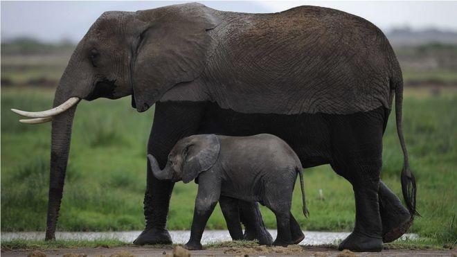 Kaçak avcılar Mozambik'te 'altı yılda 11 bin fil öldürdü'