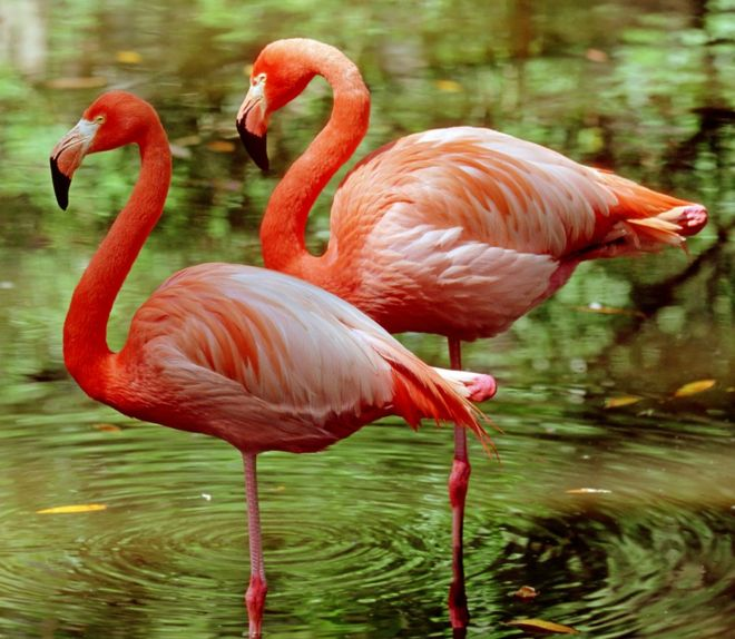 https://ichef.bbci.co.uk/news/660/cpsprodpb/40E0/production/_96180661_z8240029-greater_flamingoes_phoenicopterus_ruber_-spl.jpg