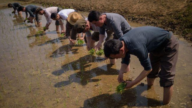 Cueillette du riz en Corée du Nord