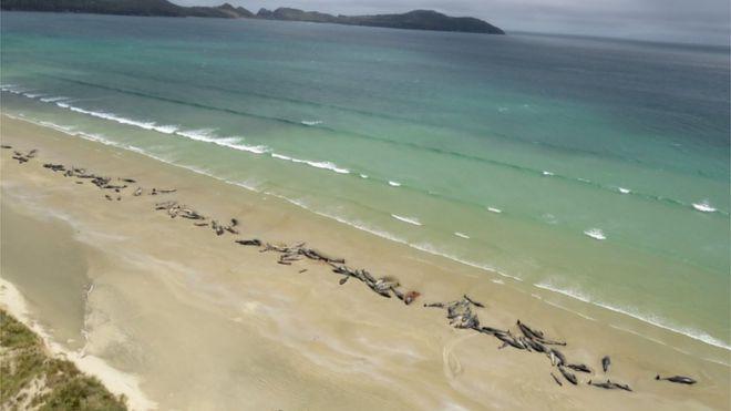No dia seguinte, as baleias-piloto estavam encalhadas na faixa de areia e começaram a morrer ao Sol