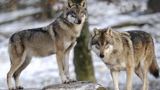 研究表明狼比狗更具有领袖意识