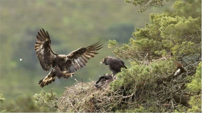 Image copyright MARK HAMBLIN Image caption A female golden eagle flying in to an eyrie in the Cairngorms National Park
