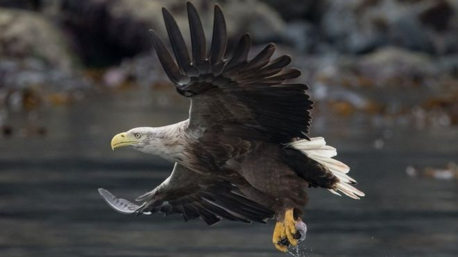 A white-tailed eagle
