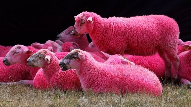 Latitude Festival: RSPCA critical of pink sheep tradition as