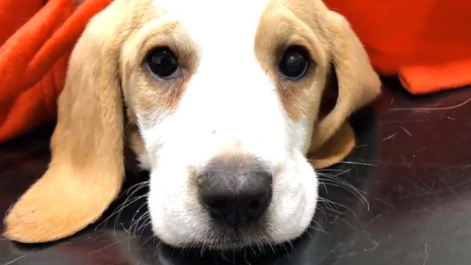 A beagle puppy called Winston bought from a puppy farm in Wales