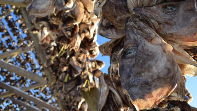 Stockfish heads in close-up on the drying racks