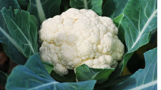 A cauliflower in a field