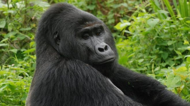 Killer of Rafiki, Uganda's rare silverback mountain gorilla, jailed