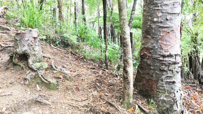 Toco de kauri junto a árvores vizinhas