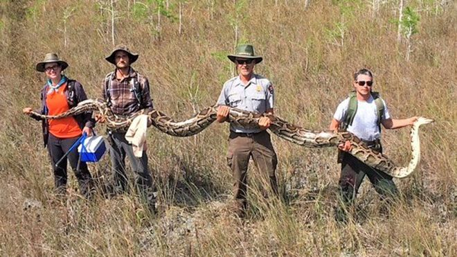 Researchers hold up a 17-foot python found in the Big Cypress National Preserve