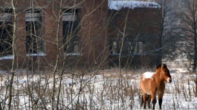 Лошади Пржевальского, как и многие другие животные, судя по всему, отлично себя чувствуют в зоне отчуждения