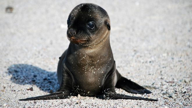 Is the pacific too warm for galapagos sea lions bbc news galapagos sea lion pup publicscrutiny Images