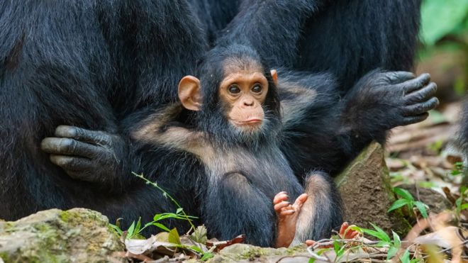 Un chimpancé bebé espera sentado con las manos detrás de la cabeza.
