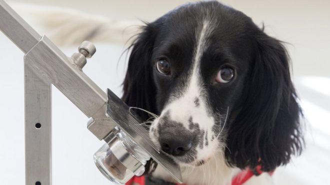Freya, cachorrinha Springer Spaniel, que foi treinada para sentir o cheiro de malária