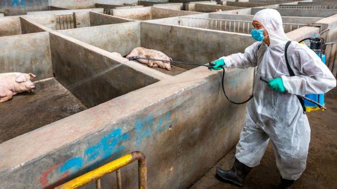Homem desinfecta fazenda de porcos na China