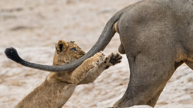Un cachorro león juega con un macho adulto