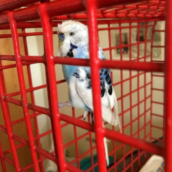 Missing budgie reunited with owner after being found by pet cat