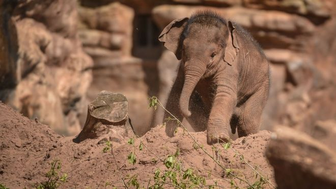7bcfa81135 Two Chester Zoo elephant calves die of virus - BBC News