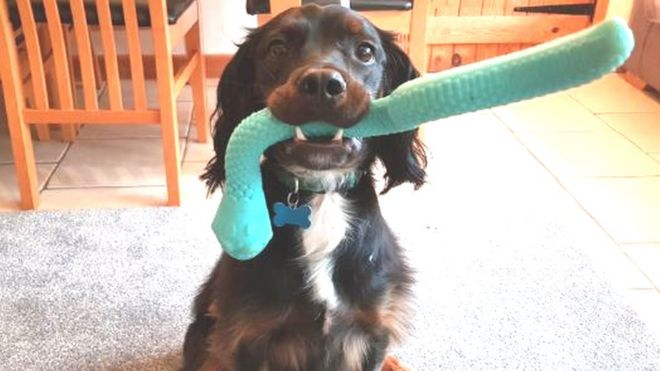 Image of: Puppy Raiser Bristol Scientists Seek Dogs With Special Toys For Attachment Study Bow Wow Meow Bristol Scientists Seek Dogs With Special Toys For Attachment Study