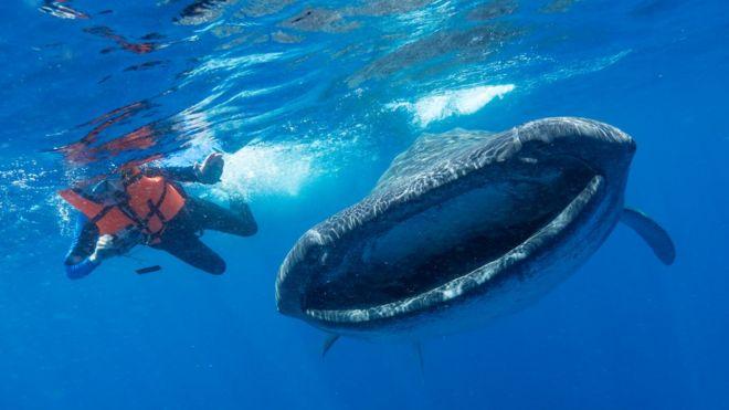 Tubarão-baleia no México